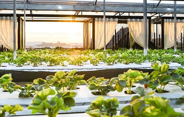 Vườn rau thủy canh trên sân thượng - sản phầm mới của khách sạn Ladalat