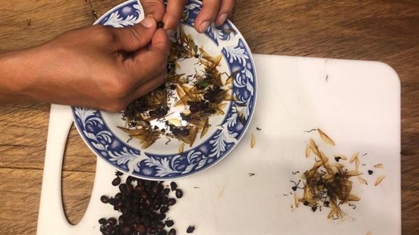 Sau khi thu hoạch, người dân địa phương bóc đôi cánh của kiến chúa để chuẩn bị nấu ăn. Nguồn ảnh: BBC.