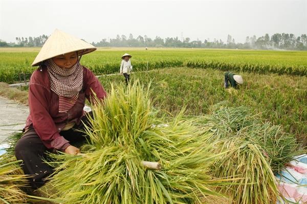 giá xuất khẩu gạo thơm của Việt Nam hiện vẫn chưa tương xứng với chất lượng và giá trị thật. Ảnh: TL