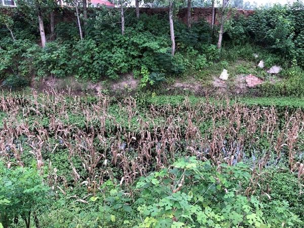 Cây ngô và mè ở Baoshang, Trung Quốc đã bị xóa sổ do mưa lớn. Nguồn ảnh: SCMP.