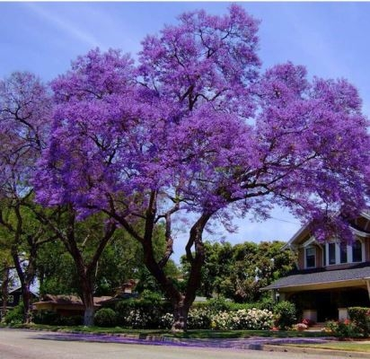 Not only cherry blossom, Da Lat in March and April levels also attract tourists with romantic beauty to heart when in the season of purple phoenix flowers.