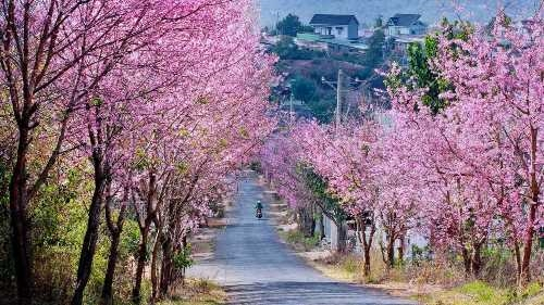 During the early days of spring in Da Lat city, many visitors have been attracted to the vibrant pink colors of cherry blossoms which have appeared throughout the city, creating romantic natural scenery.