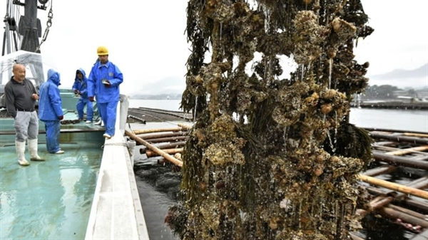 Một trang trại nuôi hàu ở tỉnh Hiroshima. Ống nhựa được sử dụng trong nuôi động vật thân mềm có thể thải ra đáy đại dương khi bị sứt mẻ hoặc vỡ. Nguồn ảnh: Nikkei Asian Review.