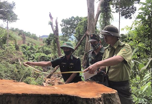 Một cây gỗ lớn tại khu vực rừng thuộc xã Hồng Thủy, huyện A Lưới, Thừa Thiên Huế bị cưa hạ trái phép. Nguồn ảnh: Hữu Phúc.
