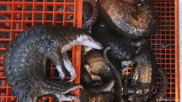 Ở một số quốc gia, việc bán một số loại thịt kỳ lạ như Tê tê, có liên quan đến việc lây lan dịch bệnh. Ảnh: AFP.