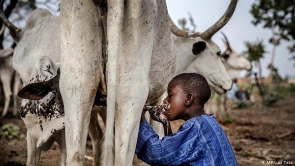 Một cậu bé uống sữa từ một con bò thuộc đàn gia đình trong khu bảo tồn ở Nigeria. Ảnh: Deutsche Welle.