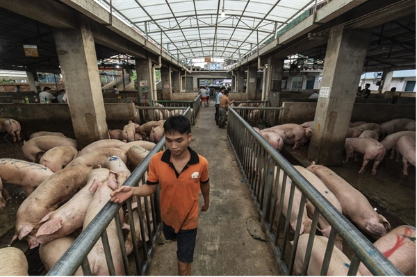Dự trữ lợn hơi của Trung Quốc đang phục hồi sau khi giảm kể từ cuối năm 2018. Ảnh: Bloomberg.