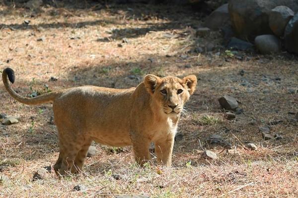 Một con sư tử tại sở thú Sakkarbaug, Ahmedabad. Ảnh: AFP.