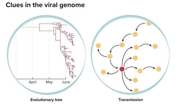 Sử dụng trình tự bộ gen, các nhà nghiên cứu có thể suy ra mối quan hệ tiến hóa giữa các phiên bản khác nhau của virus, giúp theo dõi nguồn gốc và sự lây lan của các biến thể mới cũng như nơi bắt đầu đại dịch. Ảnh: Knowable Magazine.