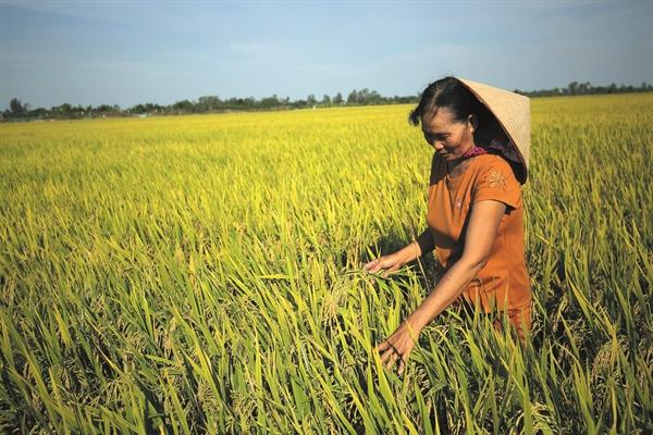 Cánh đồng lúa thơm xuất khẩu ở Đồng Tháp.